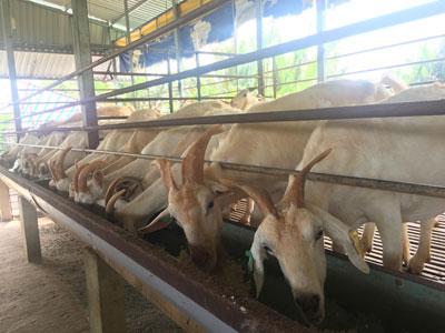 Mô hình chăn nuôi dê sữa mang lại hiệu quả kinh tế cao
