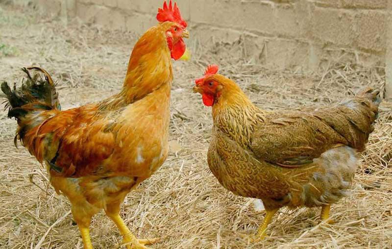 90% trại gà ở Việt Nam có 500 con trở xuống, 70% trại ở Thái Lan có 5.000 con trở lên