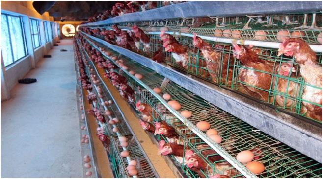 Trang trại gà đẻ trứng công nghệ cao - Công ty Dư Hoài