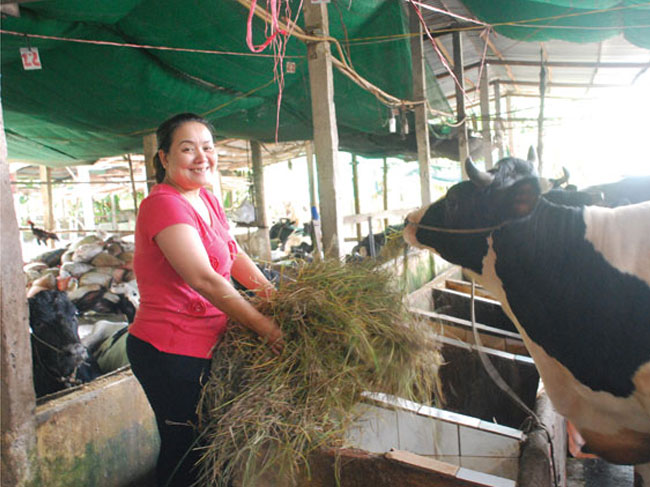 Út Hường – Bạn đồng hành của ngươi nuôi bò sữa