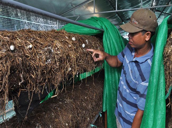 Trồng nấm rơm sạch trong nhà, giá tăng gấp đôi vẫn không đủ bán