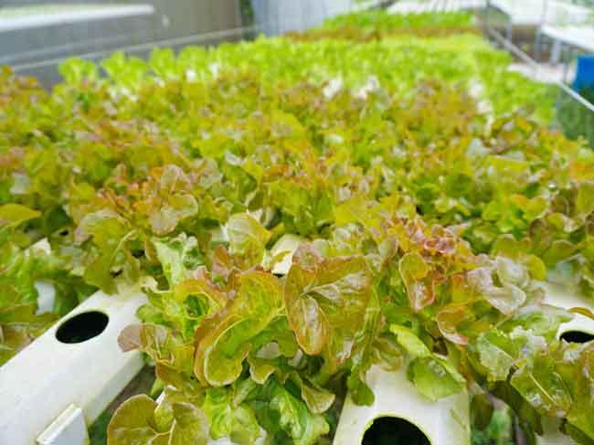 TP.HCM đẩy mạnh nghiên cứu, ứng dụng sản xuất giống cây trồng