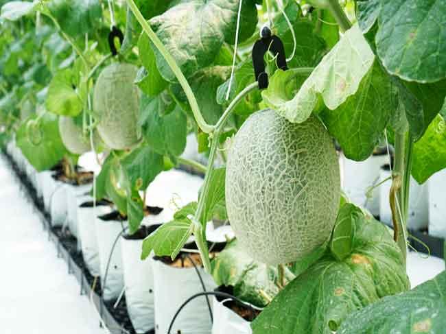 TP.HCM phát triển nông nghiệp công nghệ cao theo hướng liên kết vùng