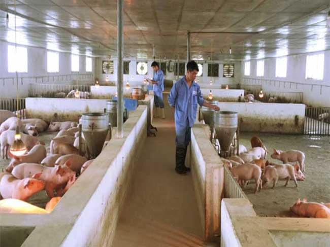 Tp.HCM hỗ trợ người chăn nuôi có heo bị dịch tả châu Phi