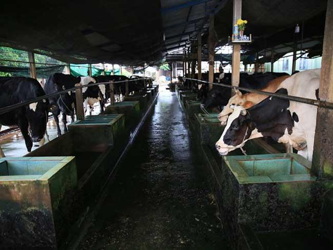 Xã Tân Thạnh Đông, huyện Củ Chi – Một trong những xã có đàn Bò sữa lớn nhất tại TP.HCM