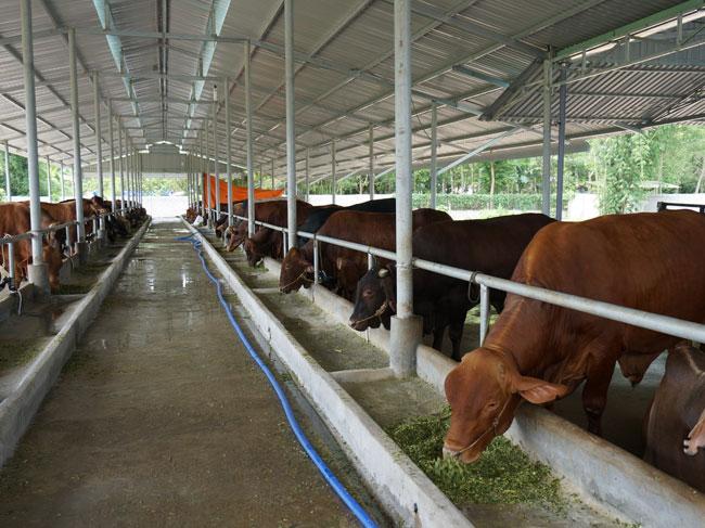 Chuyển đổi mô hình nuôi bò sữa sang mô hình nuôi bò thịt