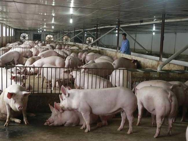 Triển khai các giải pháp tối ưu để tái đàn và tăng đàn, bảo đảm nguồn cung thịt lợn.